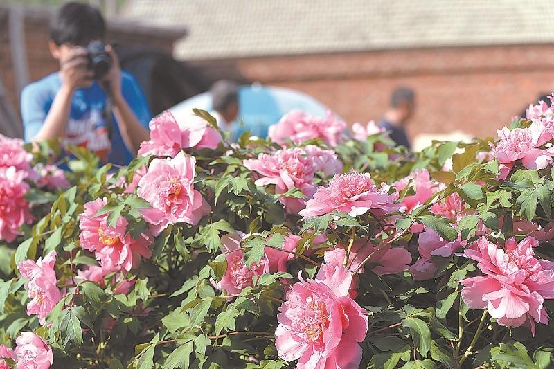 游客在宁城县长皋村乌氏家族的庭院里拍摄盛开
