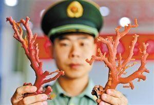 福建公安边防三沙边防派出所民警展示被查获的红珊瑚(5月15日摄)。新华