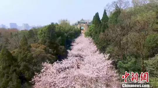 武汉大学的樱花。资料图 郑子颜 摄