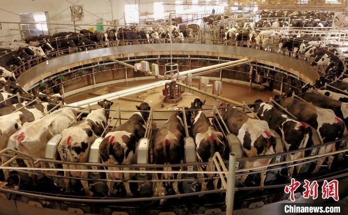 机械化养殖奶牛。 于晶 摄