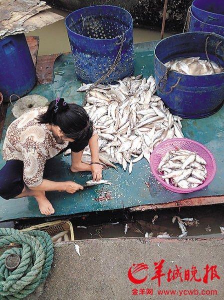 <p>女子正在对一堆死鱼进行处理</p><p>三水查处662公斤鱼干和800公斤日晒盐 当地市场监管局通报鱼干检测报告</p><p>本报佛山讯 (记者李文慧 通讯员陈文钰)上周有市民投诉在三水西南街道沙头北江大堤外,有渔民用工业盐腌制鱼干,并往晾晒的鱼干喷洒农药。随后有关部门到现场查处了662公斤鱼干和800公斤日晒盐等,并把样本送检。</p><p>昨日,佛山三水区市场监管局向媒体通报了查获的鱼干、日晒盐样本的检测报告。检测报告显示,样本中检出含有两种中毒农药敌敌畏、敌百虫成分。而日晒盐证实是来自山东的工业盐。目前两名涉案的渔民已交由区公安部门调查处理。</p>