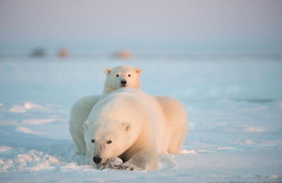 北極熊正等候伯納德岬結冰,以便能走上厚厚的冰層捕   國際線上專稿:據英國《每日郵報》3月7日報道,單身媽媽撫育子女,從來都不是一件容易的事。2013年9月,美國野生動物攝影師史蒂芬科茲洛夫斯基(Steven Kazlowski)在阿拉斯加伯納德岬捕捉到一組溫馨照片,一隻北極熊媽媽單獨帶著自己的小寶寶,在雪上覓食。   科茲洛夫斯基説,能在落日時看到這幅溫馨景象,他感到很幸運。但他也為北極熊們感到難過。因結冰緩慢,北極熊無法走上冰面覓食。它們太餓了,只能吃鯨魚的屍骸。   科茲洛夫斯基在北極旅行了兩個