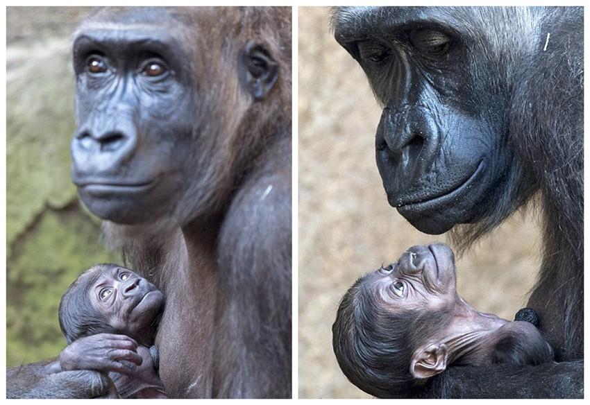 【环球网综合报道】据英国《每日邮报》3月20日报道,德国东部莱比锡动物园的猩猩家族近4个月内迎来两个新成员。日前,摄影师用镜头记录下其中一只小猩猩延戈(Jengo)与妈妈温馨动人的亲子画面。画面中,延戈和妈妈嬉戏玩耍,在妈妈身上爬来爬去,向妈妈要爱的抱抱。