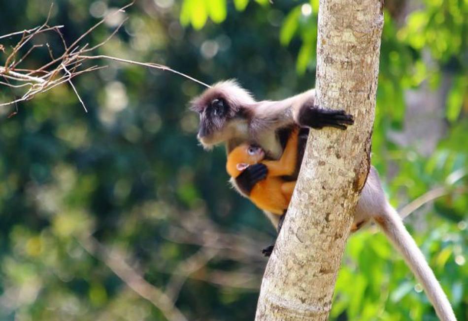 (网页截图)      郁乌叶猴生活在非洲和亚洲,以树叶,种子,水果与花为