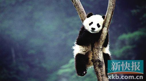 可爱的大熊猫.(图片来自relaxkaka)