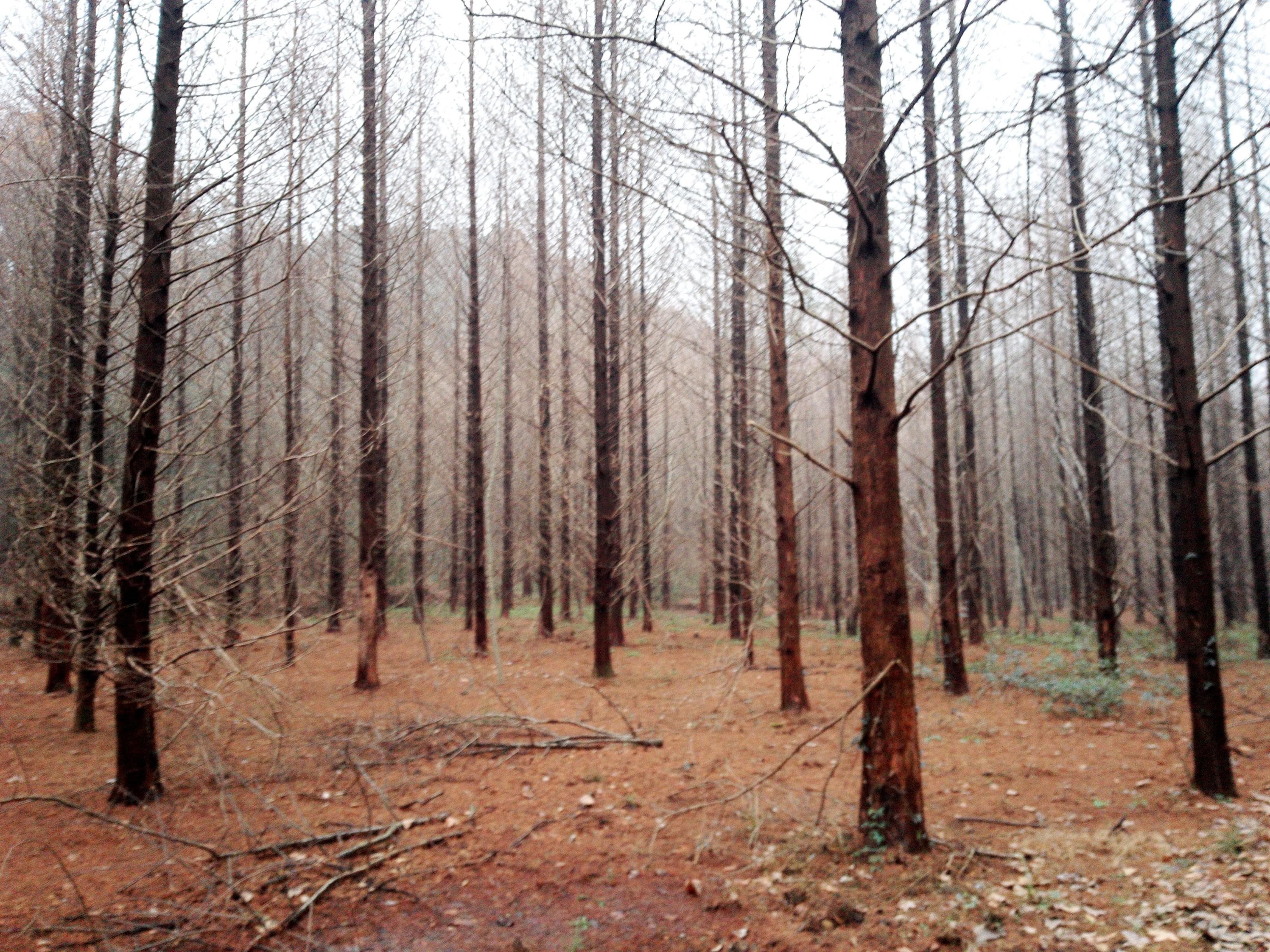 小格里森林公园水杉树林
