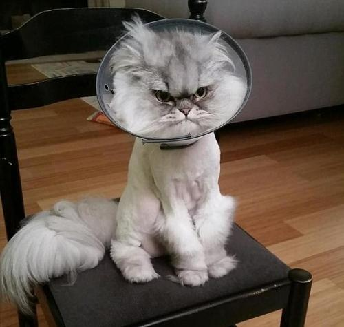 Getting A Cone On A Cat