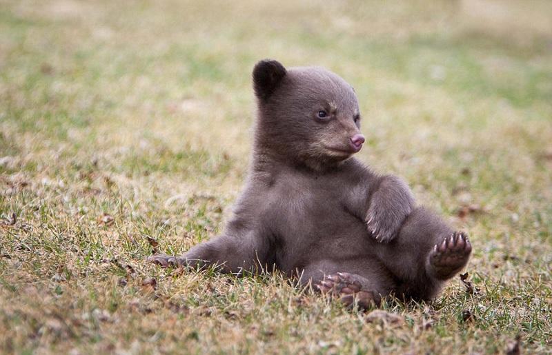 野生动物摄影活动中,一只可爱的熊宝宝不爱摆拍