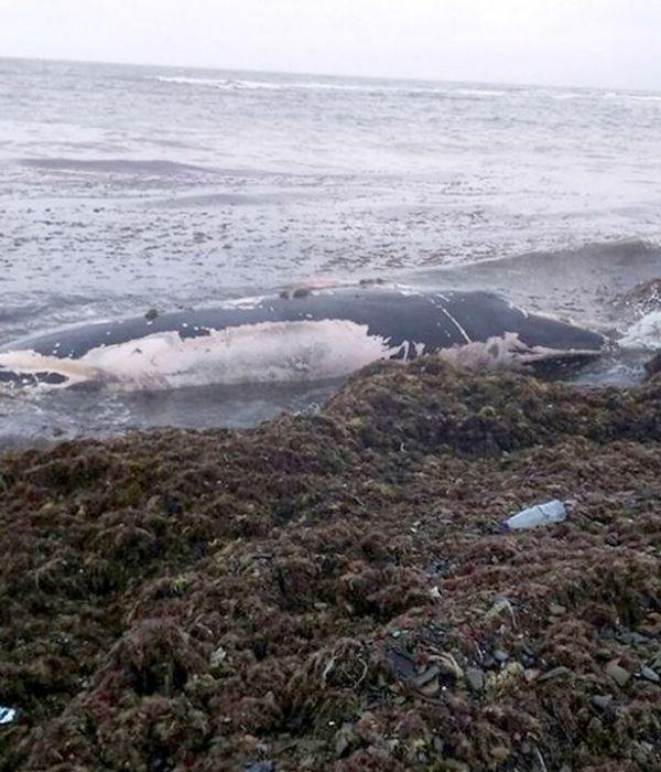 幼鲸在俄海滩搁浅 居民
