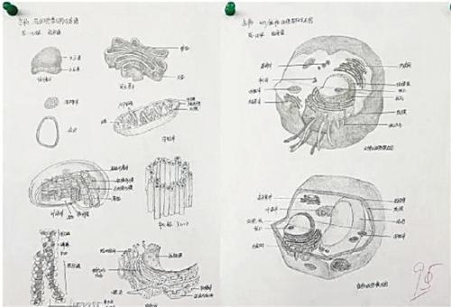 高中生手绘动植物细胞 对比原图简直以假乱真(图)